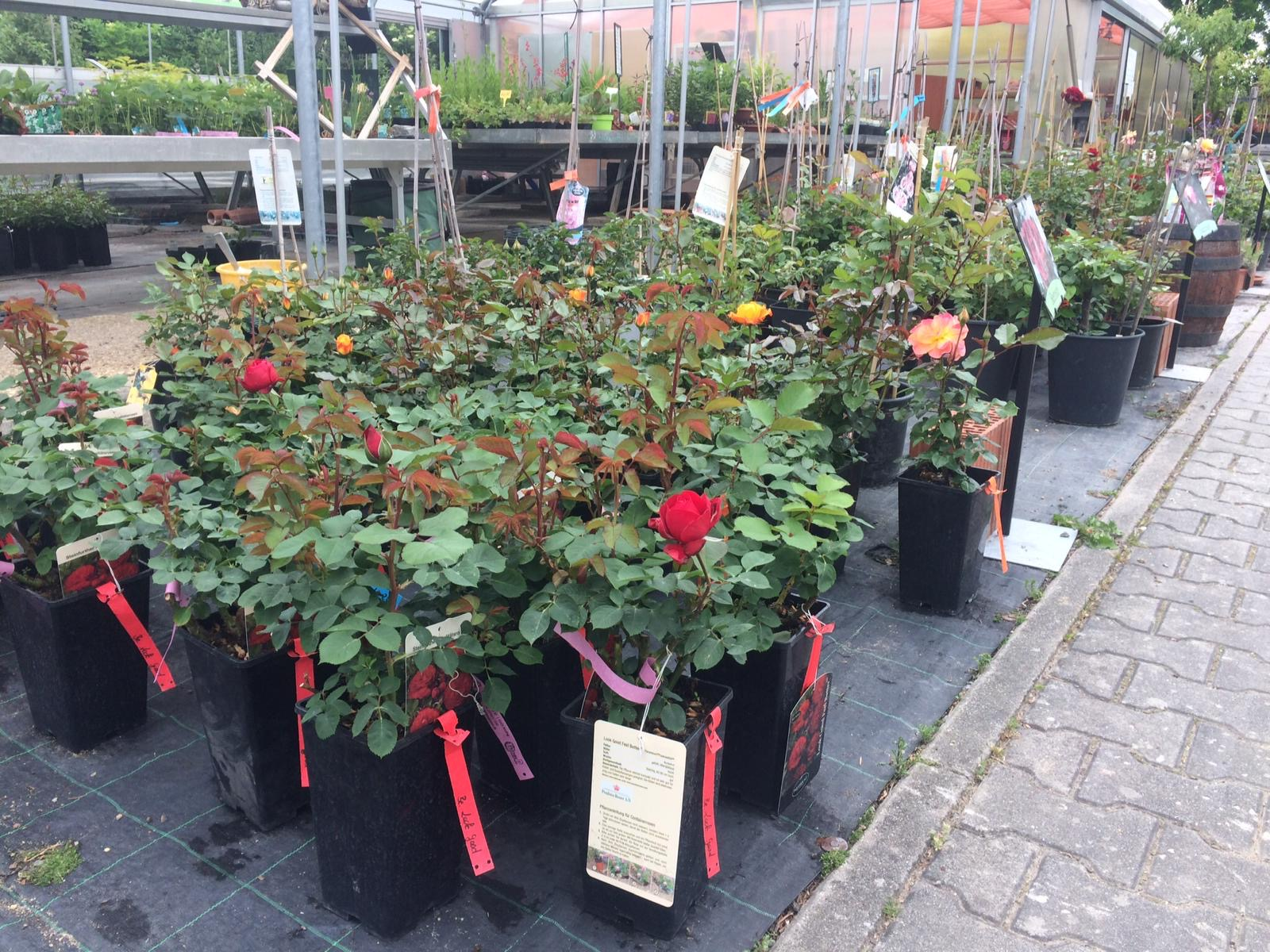 Topfrosen gibt es bei Garten Premm in Roding