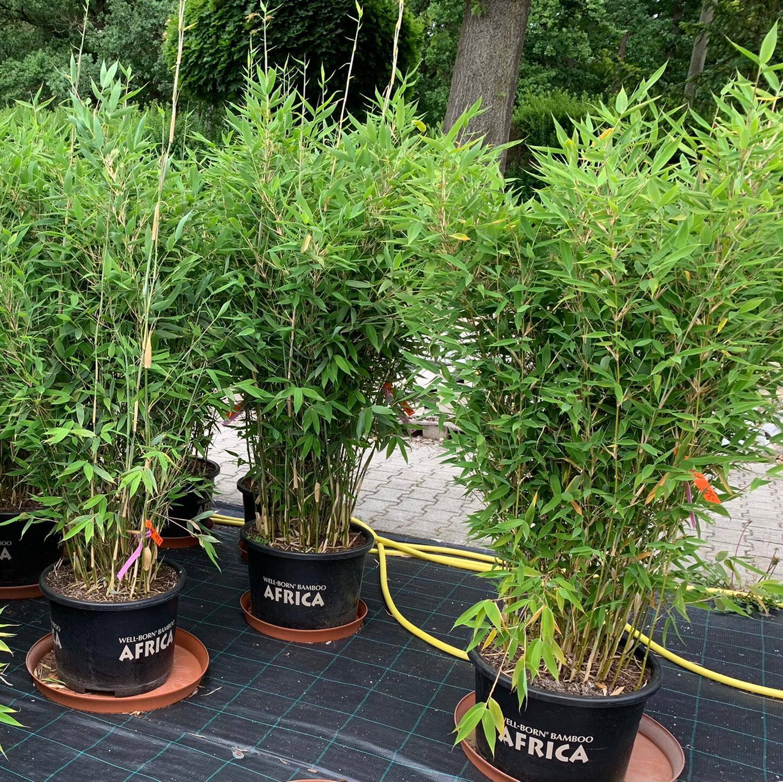 Bambus Blue Lizard Garden Premm Roding